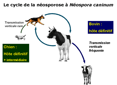 cycle nosporose